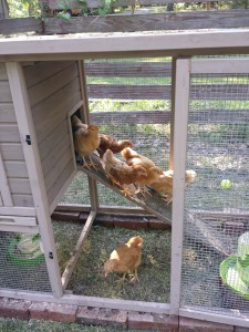 Baby Chick learning Curve… mine, not theirs