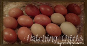 Broody Hens Hatching Chicks