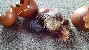 Poor little stillborn chick, breakin' out of her shell was just too much for her